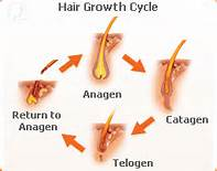 the-best-treatment-for-hair-loss -growth-cycle